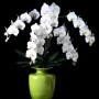 Орхидея Фаленопсис. Тайский мастер.