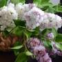 Сирень. Мастер Олеся Галущенко Botanical sculpture. Материал Супер белая глина.