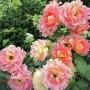 махровая роза