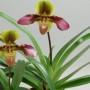 """Орхидея """"Венерин башмачок"""""""