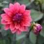 Георгин цветок