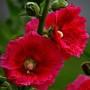 Мальва (шток роза)