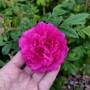 Роза махровая фото