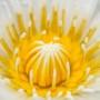 ТТ длинные двухцветные желто-белые
