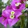 бугенвиллия цветок
